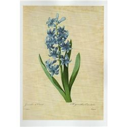 After Pierre-Jospeh Redoute, Floral Print, #66 Hacinthe d'Orient (Hyacinth)