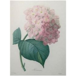 After Pierre-Jospeh Redoute, Floral Print, #56 Hortensia (Hydrangea)
