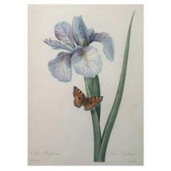 After Pierre-Jospeh Redoute, Floral Print, #60 Iris Xiphium (Iris)