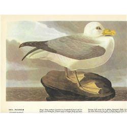 c1946 Audubon Print #264 Fulmar