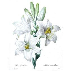 After Pierre-Jospeh Redoute, Floral Print, #76 Le Lis blanc (white Lilly)