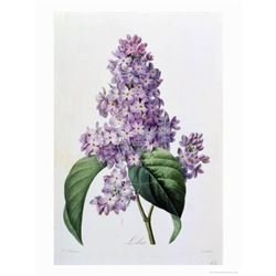 After Pierre-Jospeh Redoute, Floral Print, #73 Lilas (Lilacs)