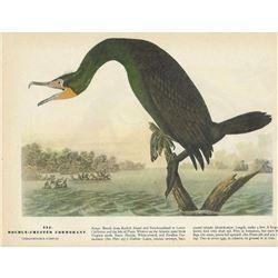 c1946 Audubon Print #252 Double-Crested Cormorant