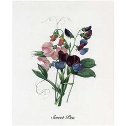 After Pierre-Jospeh Redoute, Floral Print, #70 Lois de senteur (Sweetpea)