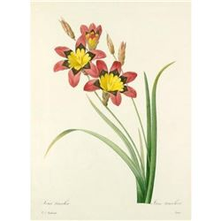 After Pierre-Jospeh Redoute, Floral Print, #63 Lxia tricolor (Ear Gear, OR Corn lily)