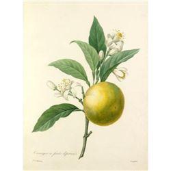 After Pierre-Jospeh Redoute, Floral Print, #89 Oranger a fruits deprimes (Oranges)