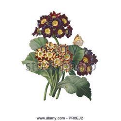 After Pierre-Jospeh Redoute, Floral Print, #111 Oreilles d'Ours Var
