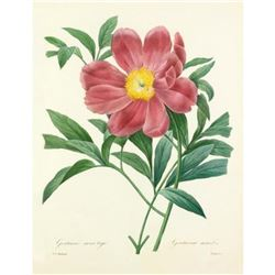 After Pierre-Jospeh Redoute, Floral Print, #105 Pivoine officinal a fleurs simples (Peony)