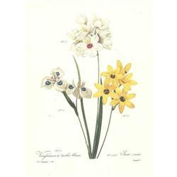 After Pierre-Jospeh Redoute, Floral Print, #144 Vieufseuxie a taches bleues (Lxia)