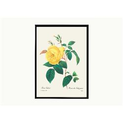 After Pierre-Jospeh Redoute, Floral Print, #122 Rosa Indica (Rose)