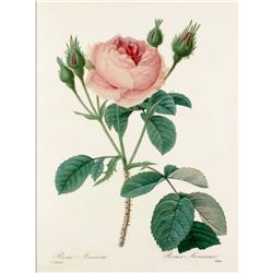 After Pierre-Jospeh Redoute, Floral Print, #124 Rosa Muscosa (Rose)