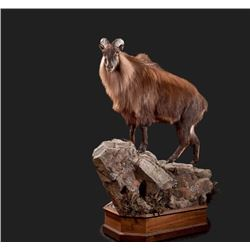 Life-size Taxidermy Mount Including Hardwood Base with Habitat Display