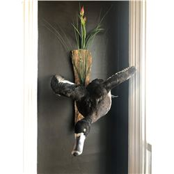 Duck Mount from Misty Mountain Taxidermy