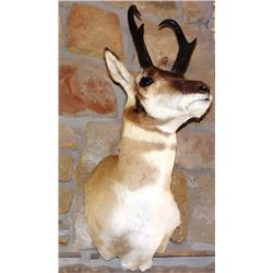 Antelope shoulder mount