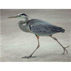 "Robert Bateman's ""Full Stride - Blue Heron"" LE Canvas"