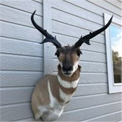 Taxidermy - Mule Deer or Antelope Shoulder Mount with Sundance Taxidermy