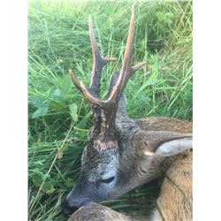 Scotland Roe Buck Hunt with South Ayrshire Stalking