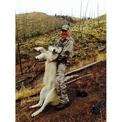 Mountain Lion-Wolf-Bobcat Hunt in Idaho with White Cloud Outfitters