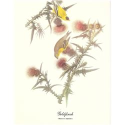 c1950 Audubon Print, Goldfinch