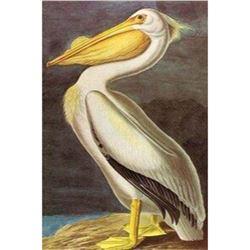 c1946 Audubon Print #311 White Pelican