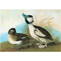 c1946 Audubon Print #325 Bufflehead