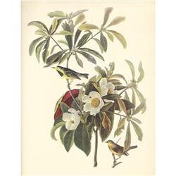 c1950 Audubon Print, Backman's Warbler
