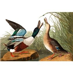 c1946 Audubon Print #327 Shoveller