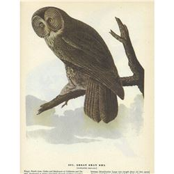 c1946 Audubon Print #351 Great Gray Owl