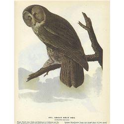c1946 Audubon Print #351 Great Gray Owl