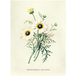 After Pierre-Jospeh Redoute, Floral Print, #22 Chrysantheme carene (Crysanthemum)