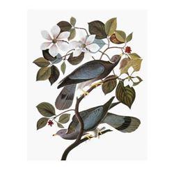 c1946 Audubon Print #367 Band-Tailed Pigeon