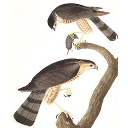 c1946 Audubon Print #374 Sharp-Shinned Hawk