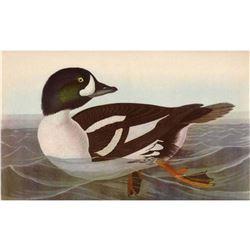 c1946 Audubon Print #403 Barrow's Golden-Eye