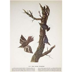 c1946 Audubon Print #415 Two Bark Feeders