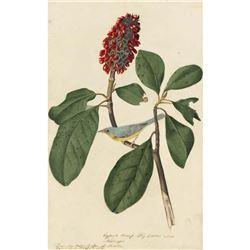 c1946 Audubon Print #5 Canada Warbler