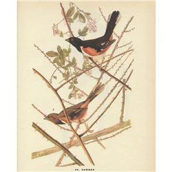 c1946 Audubon Print #29 Towhee