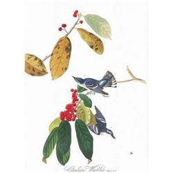 c1946 Audubon Print #48 Cerulean Warbler