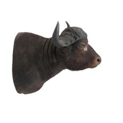 "Water Buffalo Shoulder Trophy Mount. Height 36""; Horns"