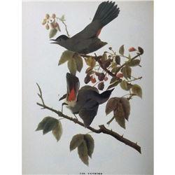 c1946 Audubon Print, Catbird #128