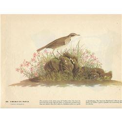 c1946 Audubon Print #80 American Pipit