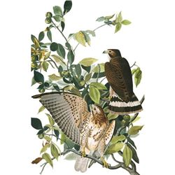 c1946 Audubon Print #91 Broad-Winged Hawk