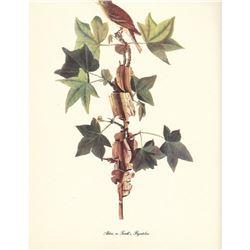 c1950 Audubon Print, Alder, or Traill's, Flycatcher