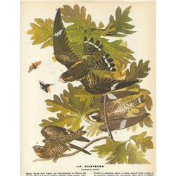 c1946 Audubon Print #147 Nighthawk