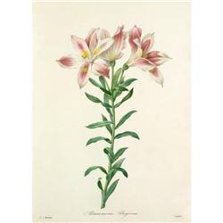 After Pierre-Jospeh Redoute, Floral Print, #2 Alstroemeria Pelegrina