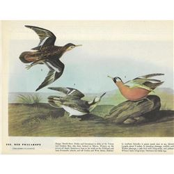 c1946 Audubon Print #255 Red Phalarope