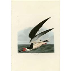 c1946 Audubon Print #323 Black Skimmer