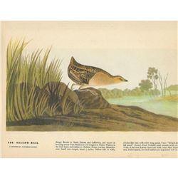 c1946 Audubon Print #329 Yellow Rail