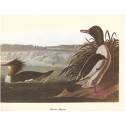 c1950 Audubon Print, American Merganser