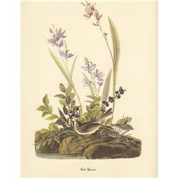 c1950 Audubon Print, Field Sparrow
