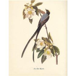 c1950 Audubon Print, Fork-Tailed Flycatcher